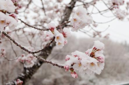 Snow on Cherry Blossom